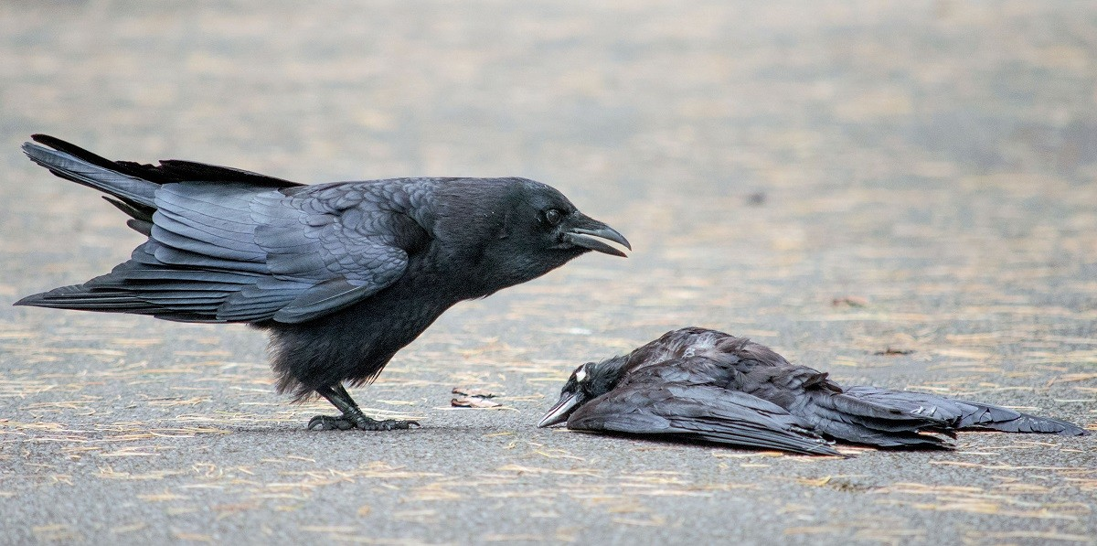 CVideo: Why do the Crows establish funerals marked by loud and loud noises?
